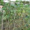 秋キュウリ:収穫の終わりを迎える