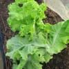 サニーレタス(3):収穫を始める