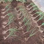 エシャレット:1回目の苗の植え付け
