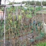 秋キュウリ:収穫を終える