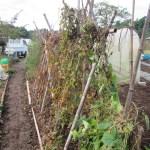 ヤマイモ:合掌式支柱を撤去する