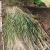 農業資材:大玉スイカの下敷き用茅の刈り取り・乾燥