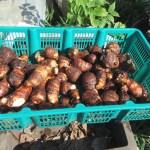 サトイモ:本格的に収穫を始める