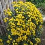 菜園の草花:道具置き場の脇の菊が満開となる