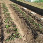 イチゴ:畝の除草