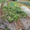 サツマイモ:サツマイモの蔓を切り取る