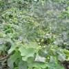 ハヤトウリ:霜で葉が焼ける