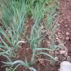 細ネギ:収穫を始める