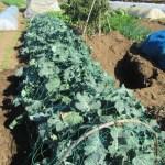 夏播きブロッコリー:鳥害対策として園芸ネットを張る