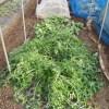 水菜・チンゲンサイ:防寒対策