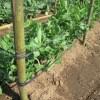 スナップエンドウ:支柱にポリ紐を2段張る