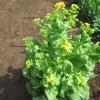 移植白菜:菜花の収穫