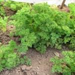 パセリ:冬越しパセリの収穫を始める