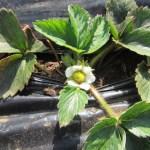 イチゴ:開花が始まる