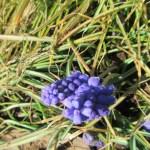 菜園の草花:ムスカリとビオラの開花