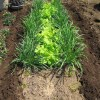 ニラ:露地栽培にする