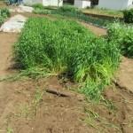 緑肥用麦:刈り取り・天日乾燥(1)