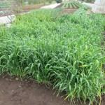 緑肥用麦:刈り取り・天日乾燥(2)