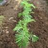 マリーゴールド:苗の植付け