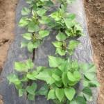 サツマイモ:1回目に植付けた苗の防風ネット撤去