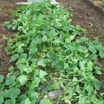 マクワウリ(1):防虫ネットを撤去し露地栽培とする