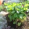 春播きゴボウ:畝の両側に柵をつくる