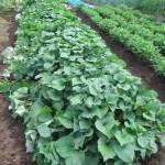 サツマイモ:除草と整蔓