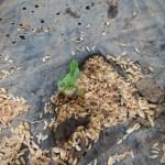 蔓ありインゲン(2):発芽が始まる