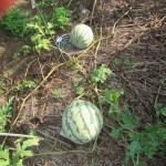 大玉スイカ:収穫を終える