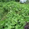 ハヤトウリ:周辺の雑草を刈り取る