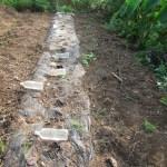マクワウリ(2):収穫を終える