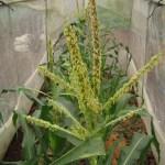 トウモロコシ(2):雌花開花・授粉開始