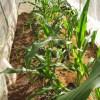 トウモロコシ(2):3回目の潅水