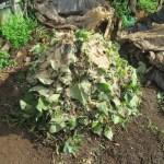 グリーン堆肥づくり:No.11G堆肥の仕込み(2)