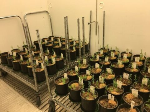 Flax being grown in the chambers at the phytotron as part of the U of S flax breeding program.