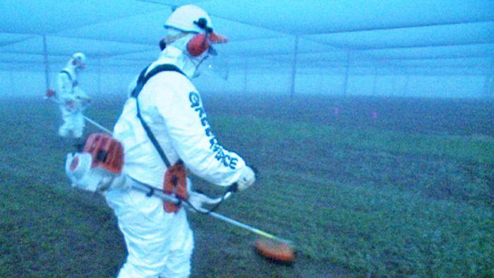 Australian Greenpeace destroys GM crop