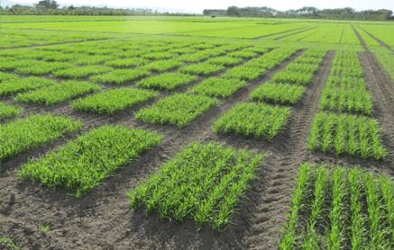 Seed development - plot trials