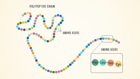 Polypeptide chain: amino acids form chains of peptides which form polypeptides