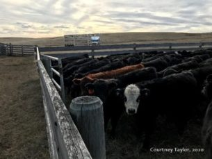 Cattle in corral