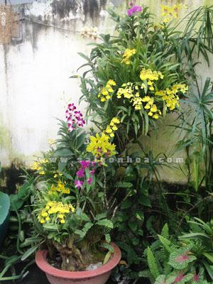 hoa lan ghep goc cay