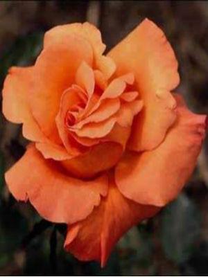 hoa hong leo mau cam