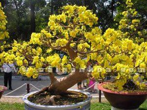 cac dang mai bonsai tet