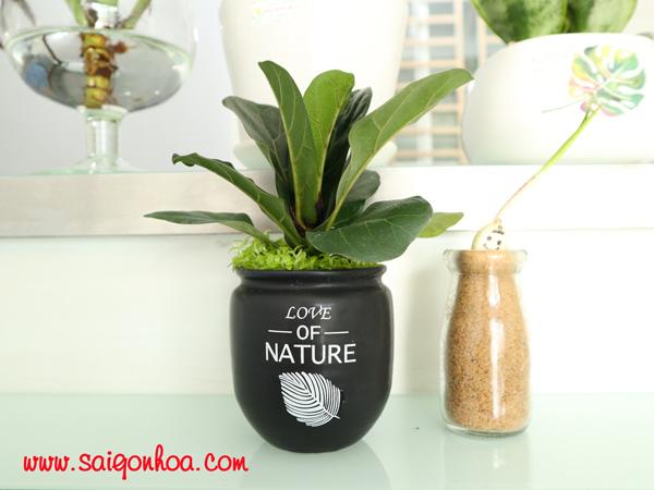 Ý nghĩa cây bàng singapore và vị trí đặt cây phù hợp