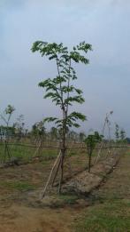 cay dang huong (2)