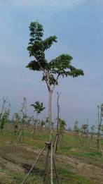 cay dang huong (4)
