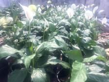 cây hoa lan ý