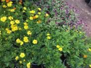 Cây hoa sao nháy