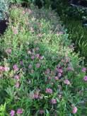 cây hoa đẹp cho sân vườn