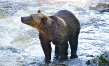 Watching the black bears