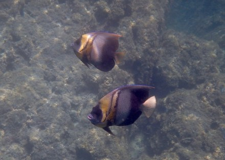 Angelfish Cortez..they seem to travel in pairs